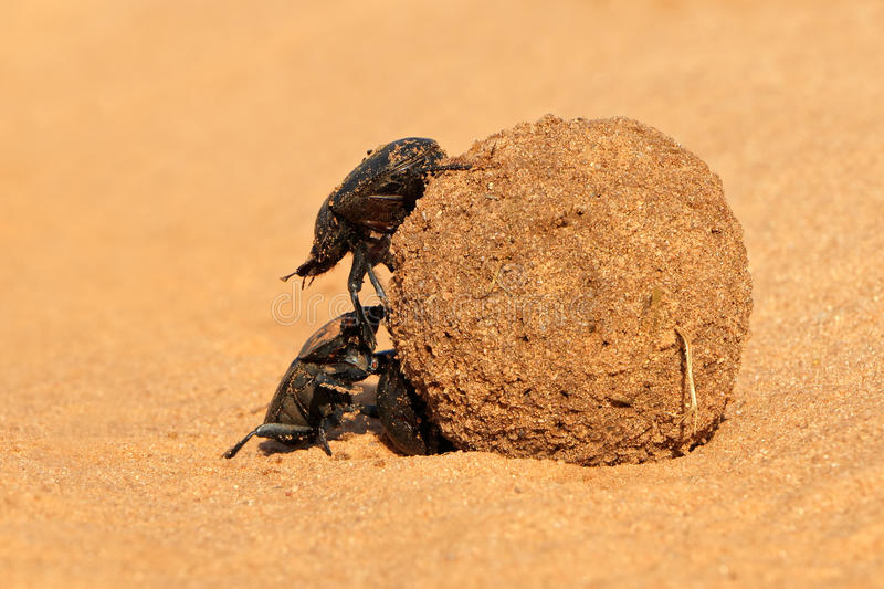 Dung beetles. Rolling their sand covered dung ball, South Africa stock photos