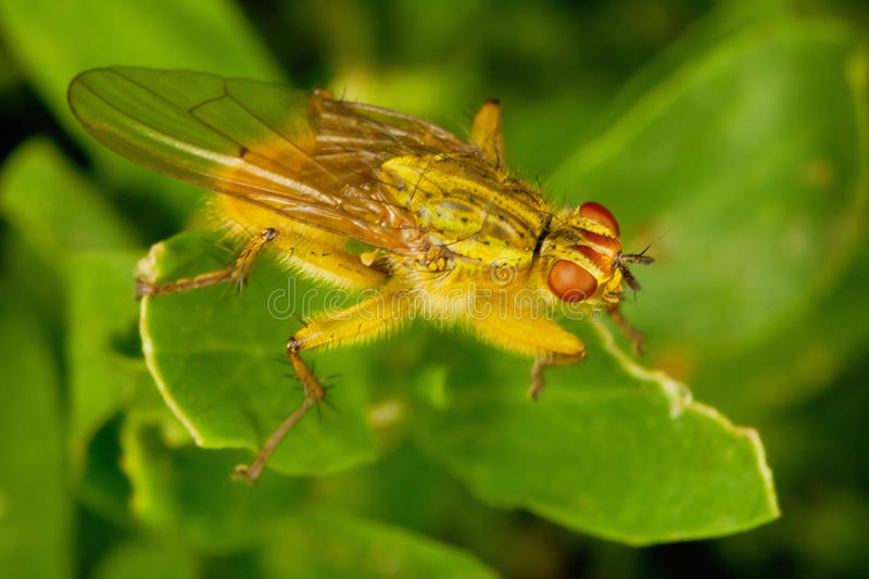 Dung Fly. Brown dung fly on a plant close up royalty free stock images