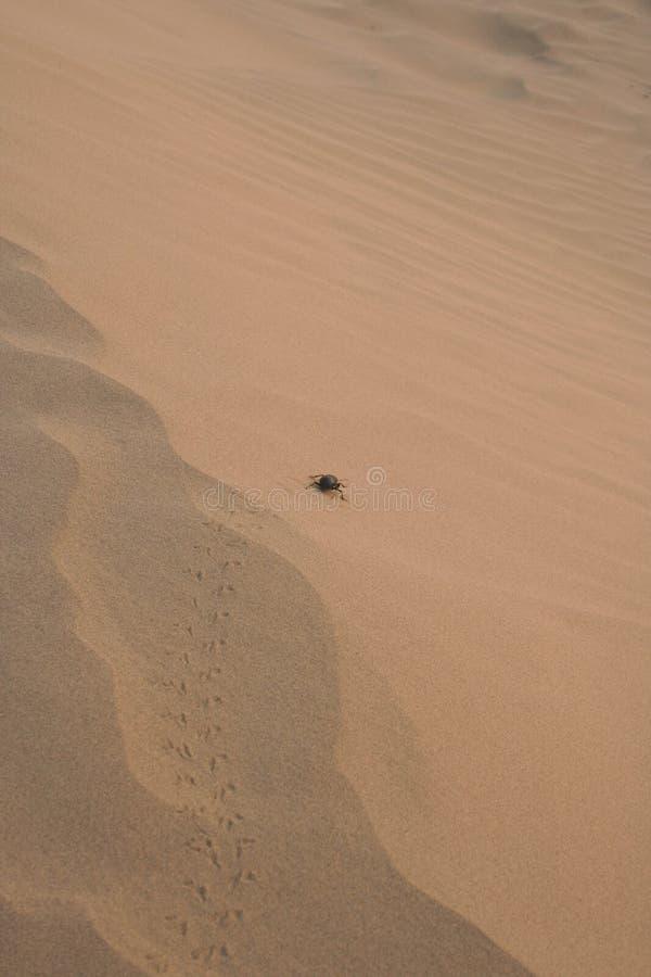 Dung Scarabäus beatle in Thar-Wüste in Indien stockbild