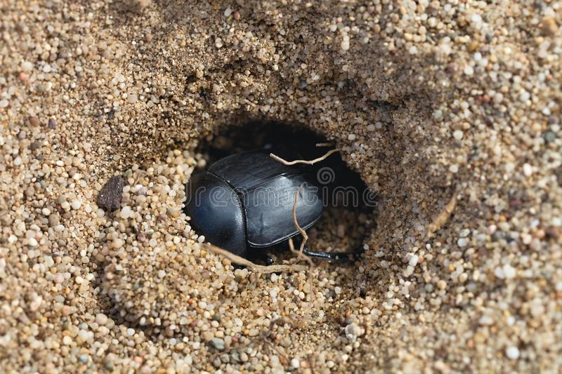 Dungbeetles dans le sable, Sardaigne, Italie photo stock