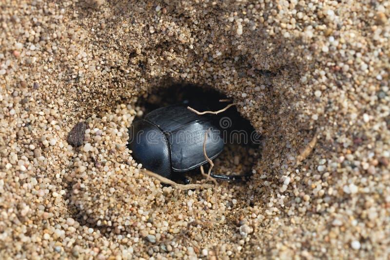 Dungbeetles in het zand, Sardinige, Italië stock foto