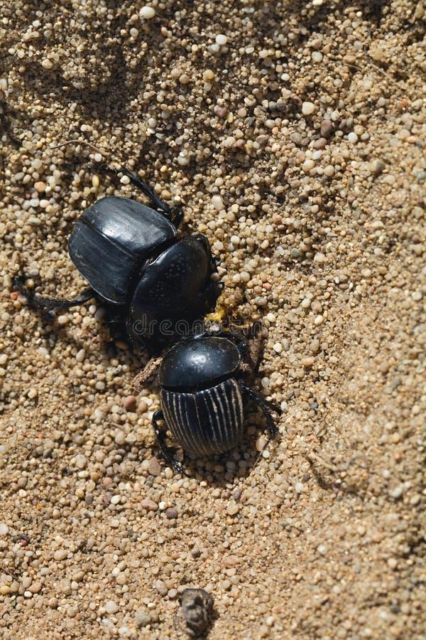 Dungbeetles w piasku, Sardinia, Włochy fotografia stock