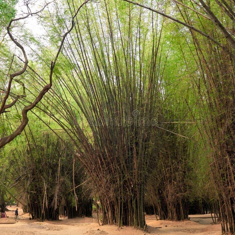 Dunge av högväxta bambuträd i skuggor av gräsplan arkivbild