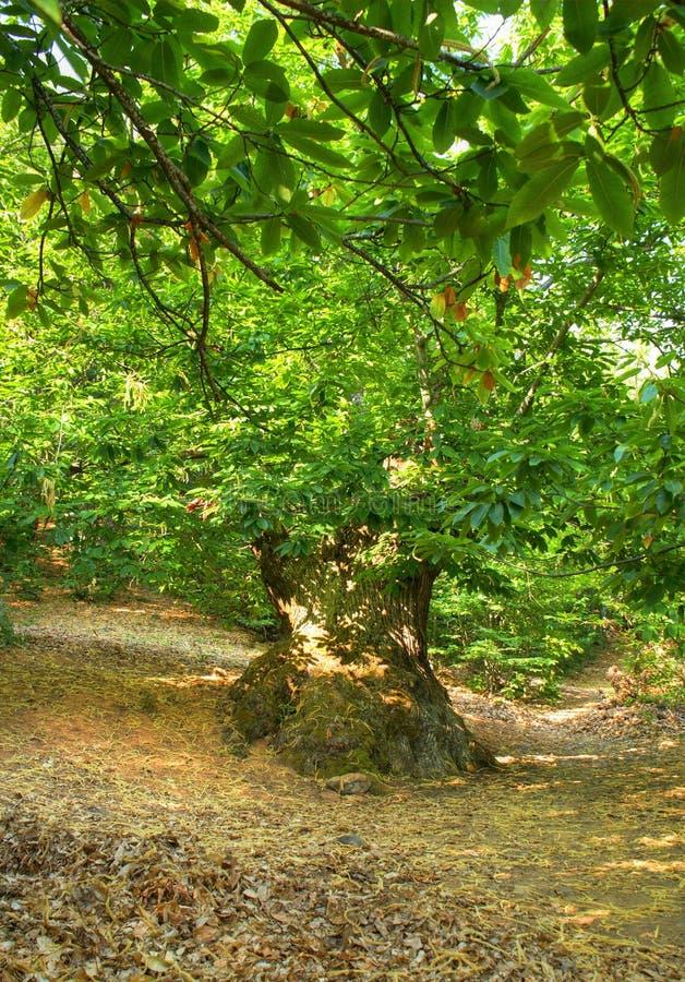 Dunge av kastanjebruna träd i Las Medulas royaltyfri fotografi
