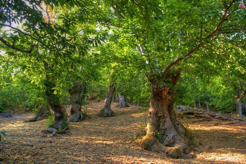 Dunge av kastanjebruna träd i Las Medulas arkivfoto