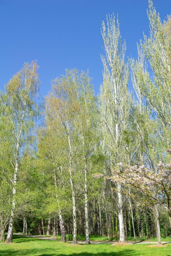 Dungebjörkträd royaltyfria foton