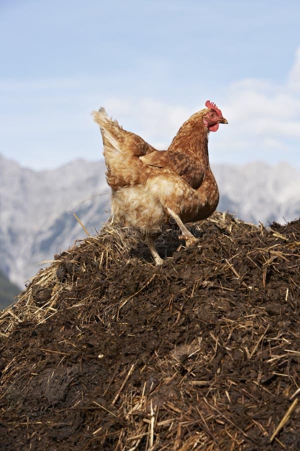 dungpile母鸡 库存图片