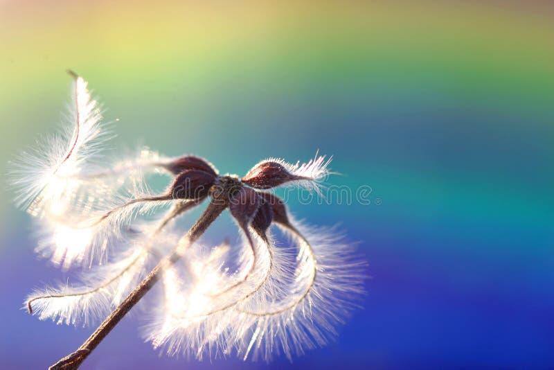 dunig blomma royaltyfri bild