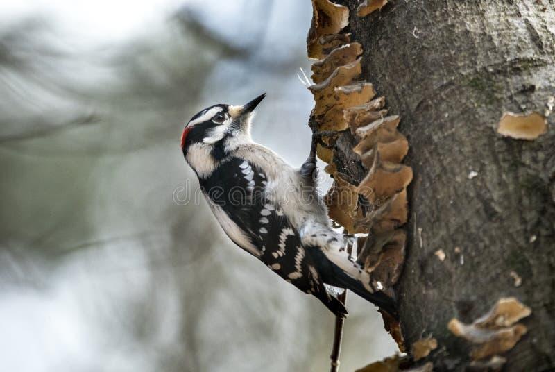 Dunig hackspettfågel som pickar trädet royaltyfria foton