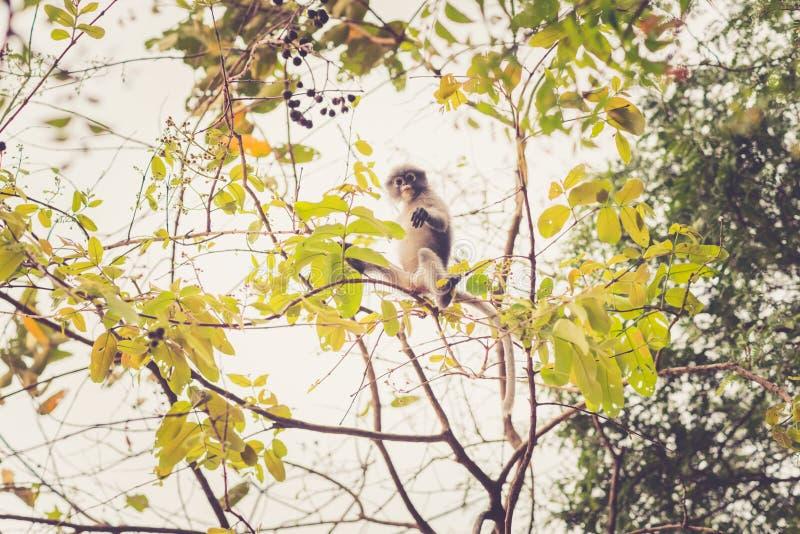 Dunkel bladapa i lövverket av ett träd arkivfoton