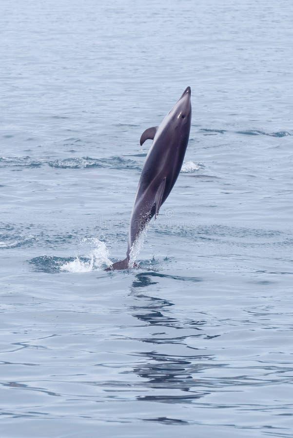 Dunkel delfin som piruetterar i Kaikoura royaltyfria foton