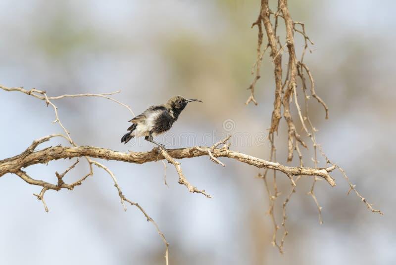 Dunkel Sunbird - Cinnyris fuscus fotografering för bildbyråer
