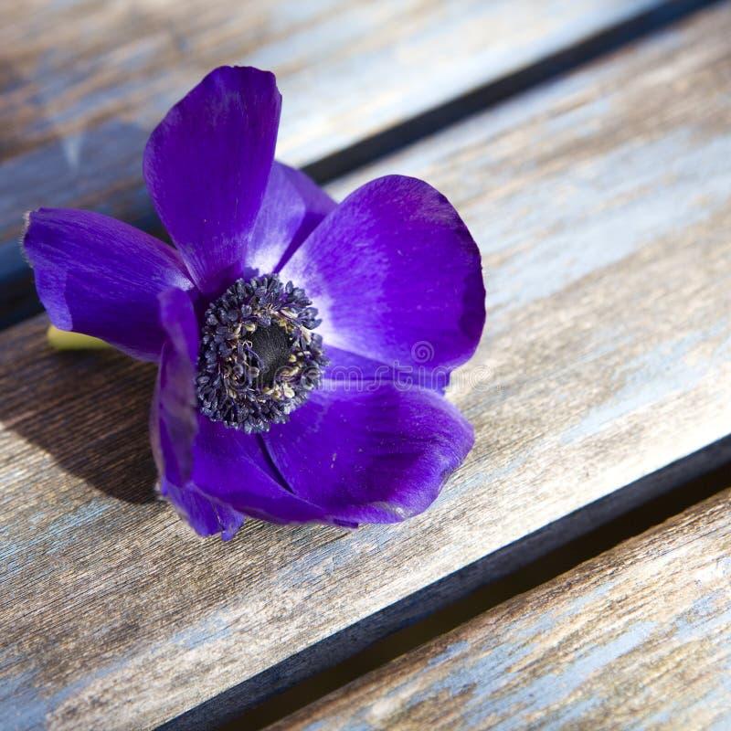 Dunkelblaue Anemone auf blauer Tabelle stockfoto