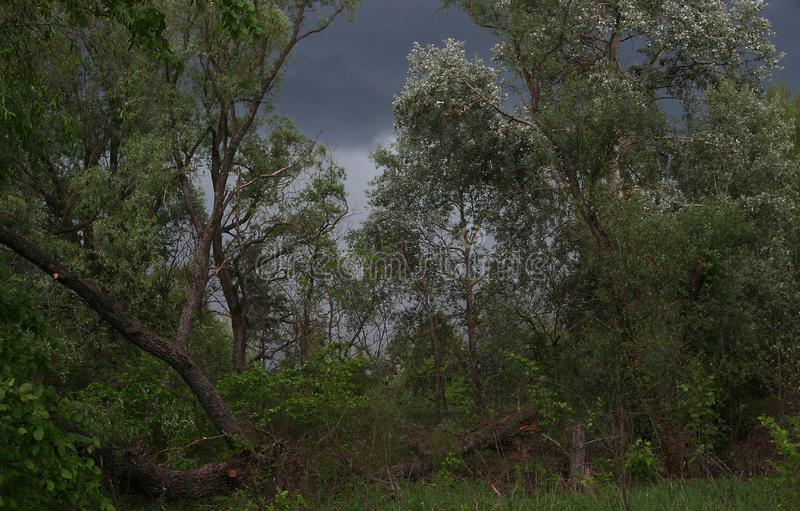 Dunkelblauer Himmel des Sturms im Sommerwald stockfoto