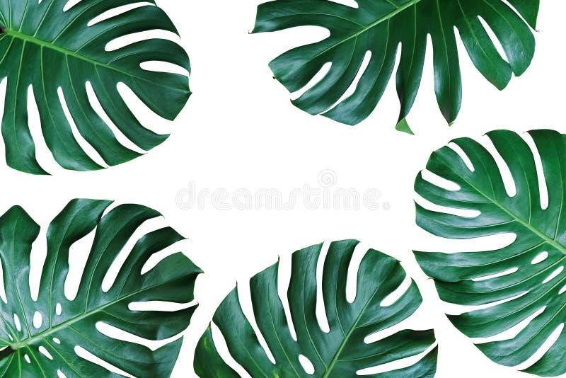 Dunkelgrüne Blätter von monstera oder Spalteblatt Philodendron Monste stockfotografie