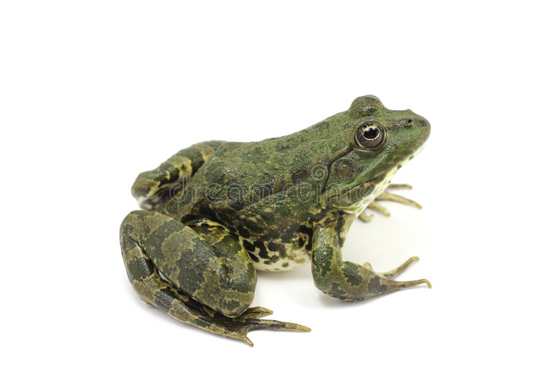 Dunkelgrüner grüner Frosch lizenzfreie stockfotografie