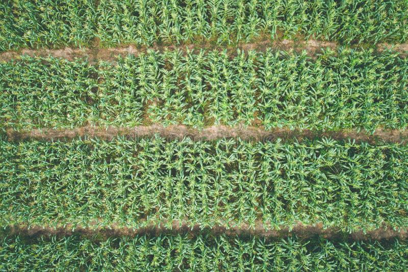 Dunkelgrünes Blatt der Natur des Maisbaums für Beschaffenheit und Hintergrund lizenzfreies stockfoto