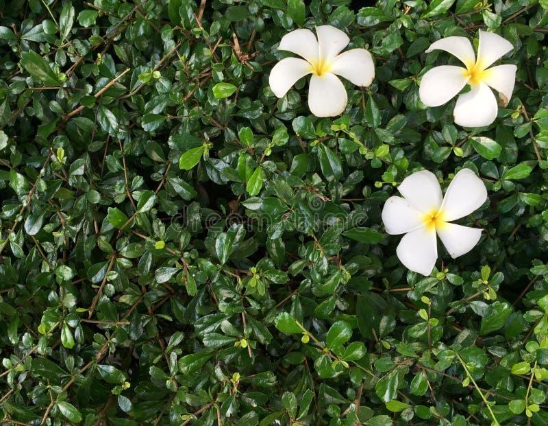 Dunkelgrünes kleines kleines Blatt mit weißem Frangipani oder Plumaria stockbilder