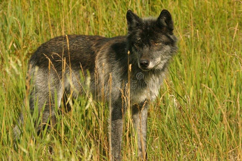 Dunkelgrauer Wolf stockfotos