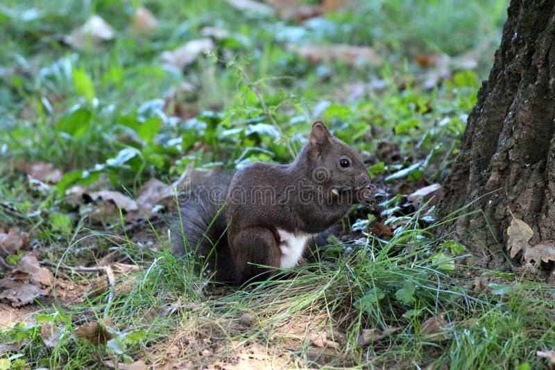Dunkelgraues Eichhörnchen, das vor Baum sitzt und die Nuss umgeben mit ungeschnittenem Gras im lokalen Park isst stockfotos