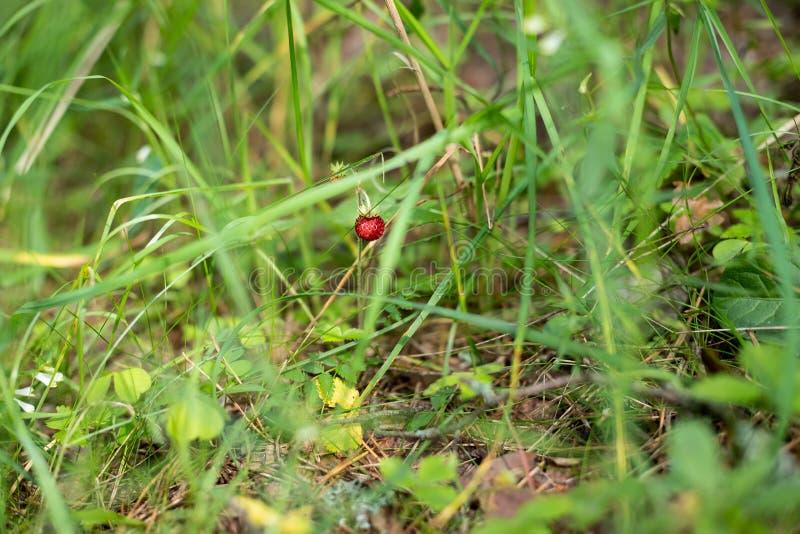 Dunkelrote Beere von reifen Erdbeeren in einer Waldlichtung Wachsende organische Walderdbeere auf Busch in forestRipe Niederlassu lizenzfreie stockfotografie