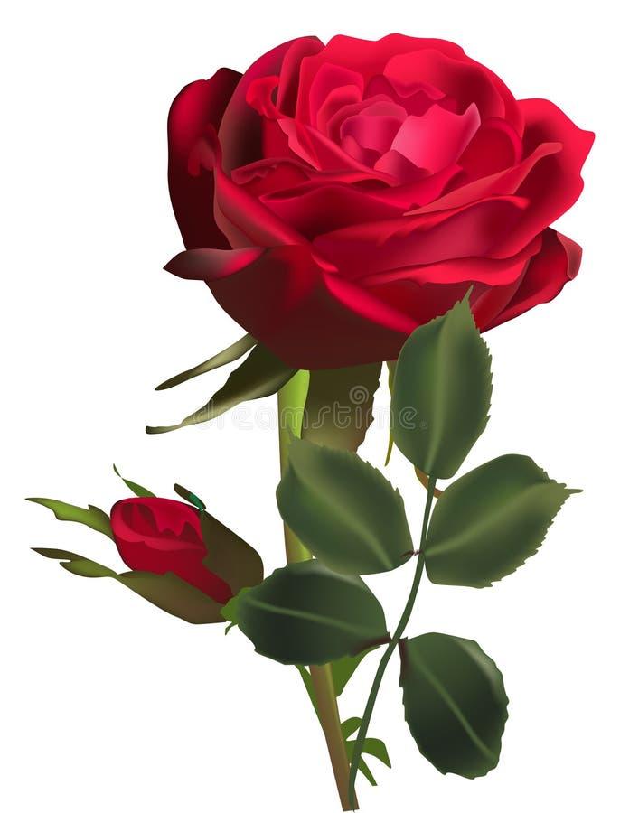 Dunkelrote rosafarbene Blume und eine Knospe lokalisiert auf Weiß vektor abbildung