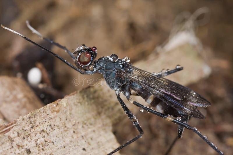 Dunkle farbige mit Beinen versehene Fliege der Stelze lizenzfreies stockbild
