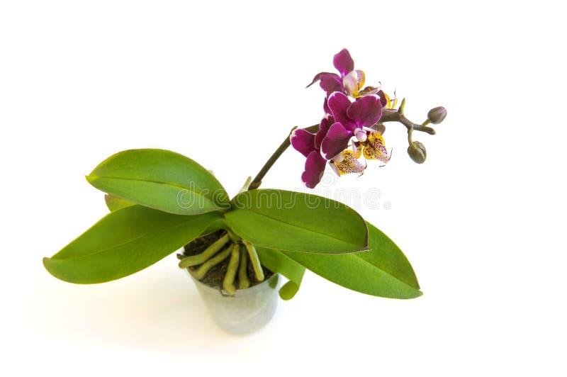 Dunkle magentarote rote Orchidee phalenopsis Niederlassung in der Blütennahaufnahmeblume lokalisiert auf weißem Hintergrund Symbo lizenzfreie stockbilder