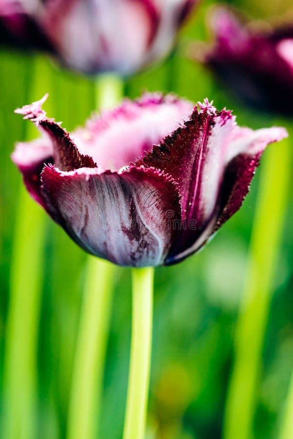 Dunkle purpurrote ausgefranste Tulpe in der Natur - sehr flache Schärfentiefe stockfoto