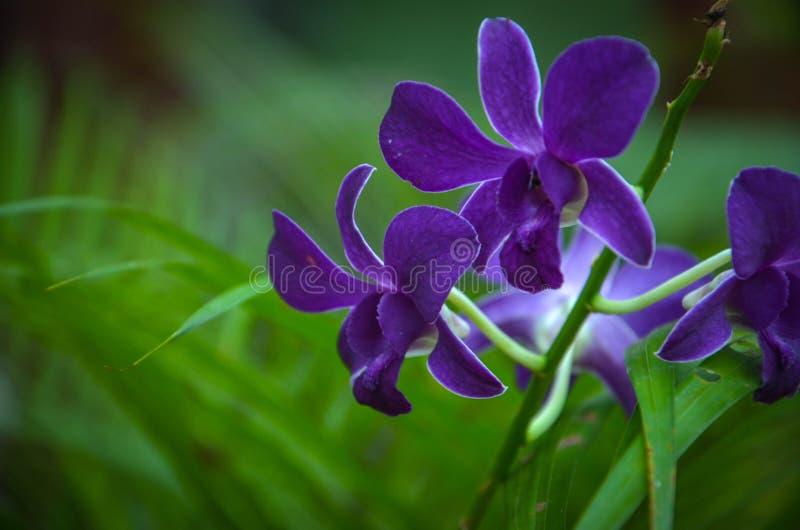 Dunkle purpurrote Orchidee in den königlichen botanischen Gärten, Kandy, Sir Lanka stockfoto