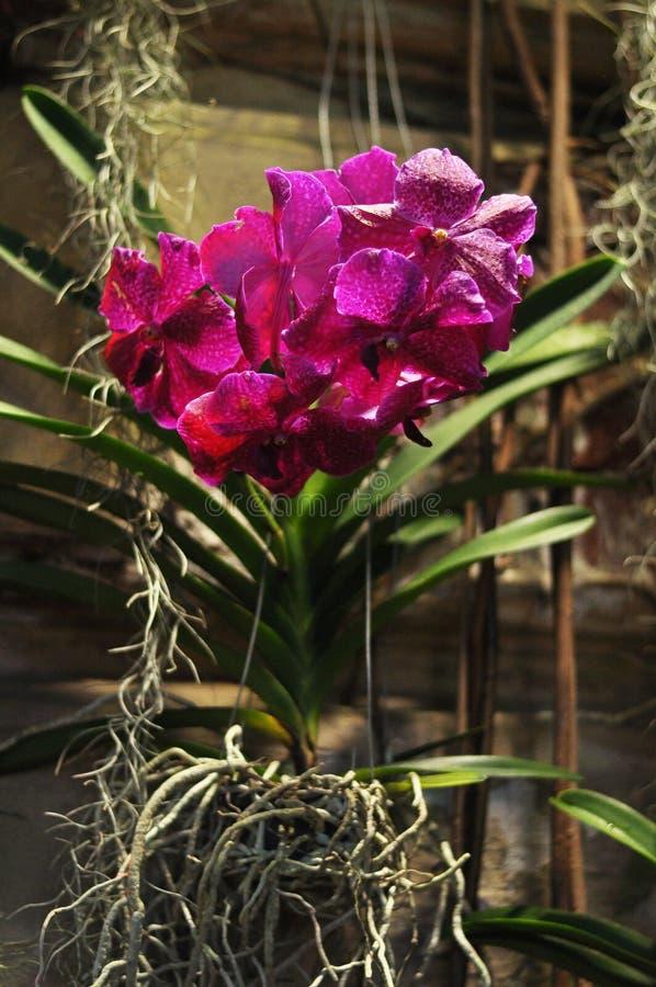 Dunkle purpurrote Orchidee Vanda auf concreate Wand stockfotos