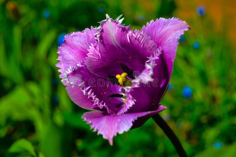 Dunkle purpurrote Tulpenblume stockfoto