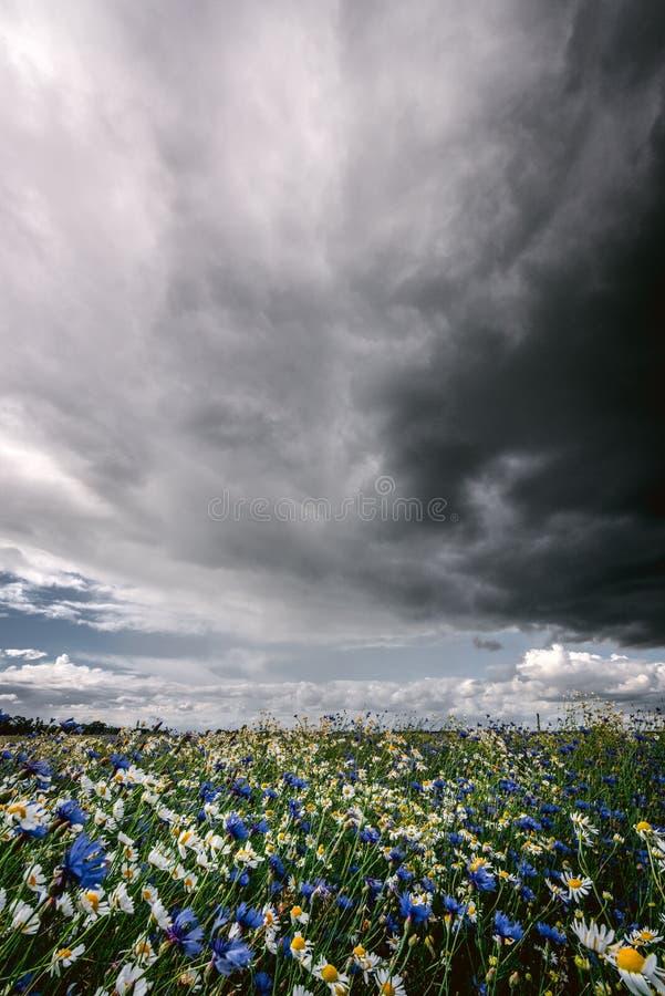 Dunkle regnerische Sturmwolken über Kamillen- und Kornblumewiese lizenzfreies stockfoto