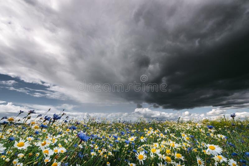 Dunkle regnerische Sturmwolken über Kamillen- und Kornblumewiese stockfotos