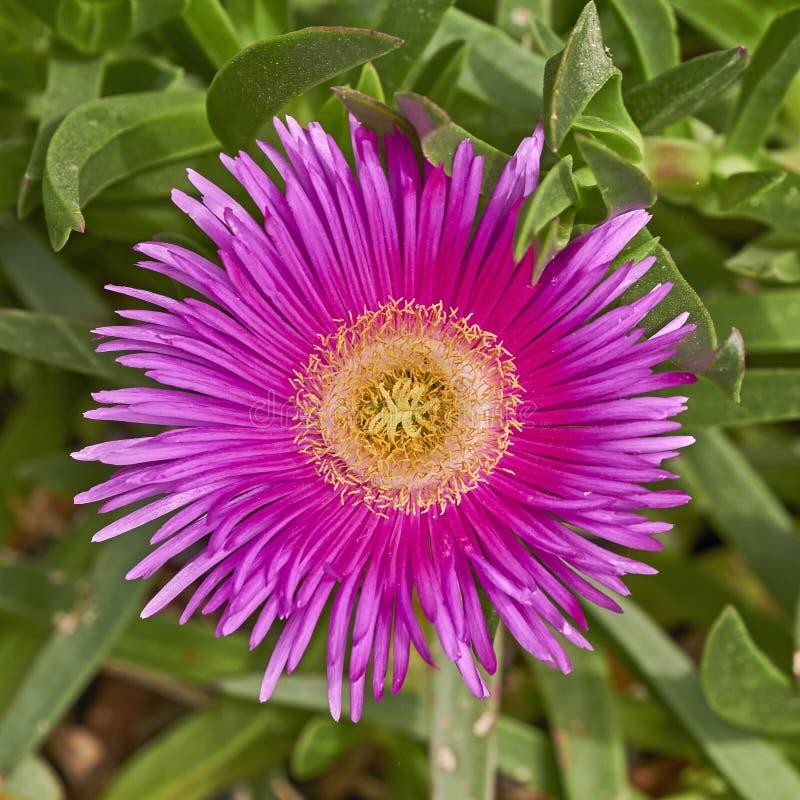 Dunkle rosa Blumennahaufnahme des Kaktus lizenzfreie stockbilder