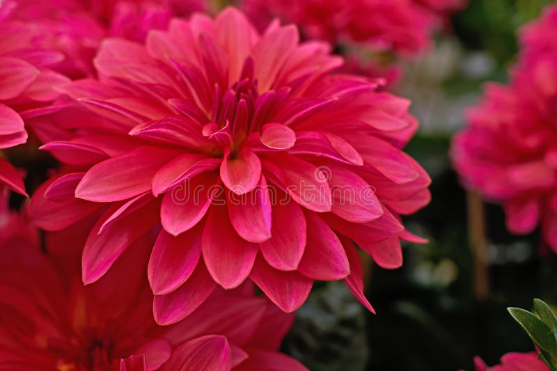 Dunkle rosa Dahlienblumennahaufnahme stockbilder
