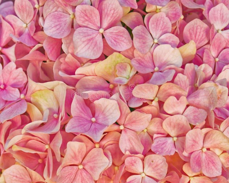 Dunkle rosa Hortensianahaufnahme, Blumenhintergrund lizenzfreie stockbilder