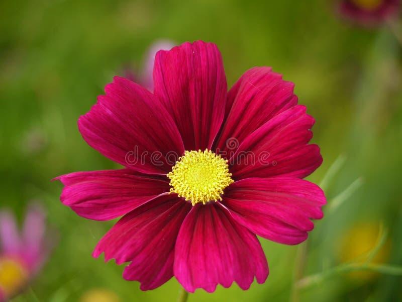 Dunkle rosa Kosmos-Blume lizenzfreies stockfoto