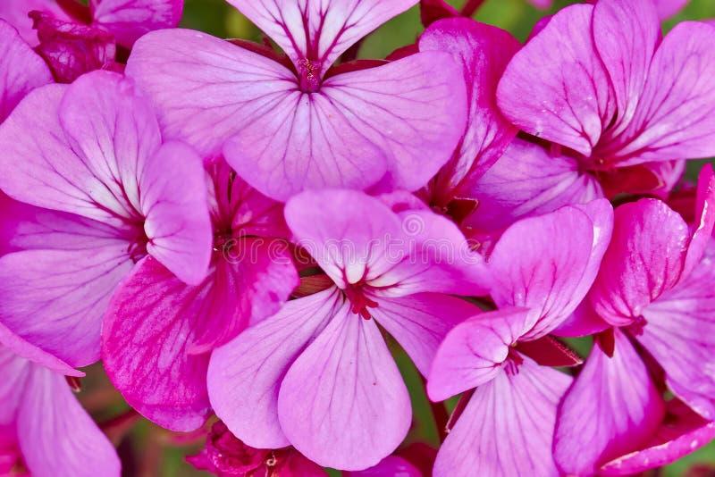 Dunkle rosa Pelargonien lizenzfreies stockbild