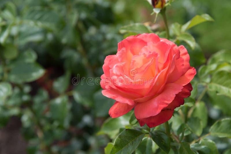 Dunkle Rosarose der Nahaufnahme mit hellgelben Streifen auf den Blumenblättern, umgeben durch Rosenblätter lizenzfreies stockbild