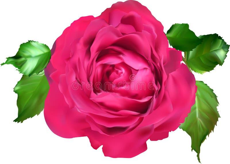 Dunkle Rosarosenblüte und fünf Blätter auf Weiß lizenzfreie abbildung