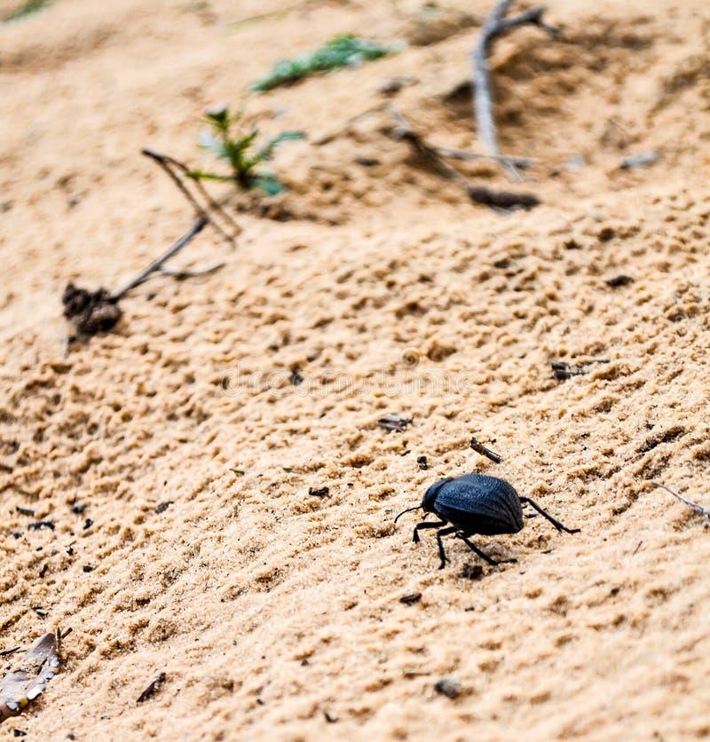 Dunkler Käfer stockbild