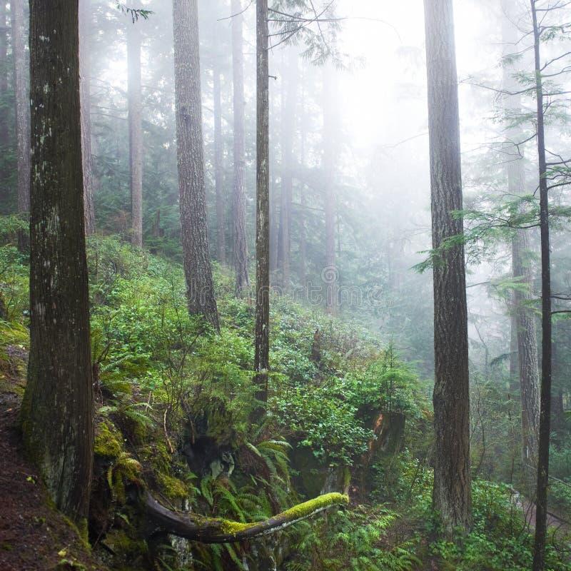 Dunkler nebelhafter Wald lizenzfreie stockfotos