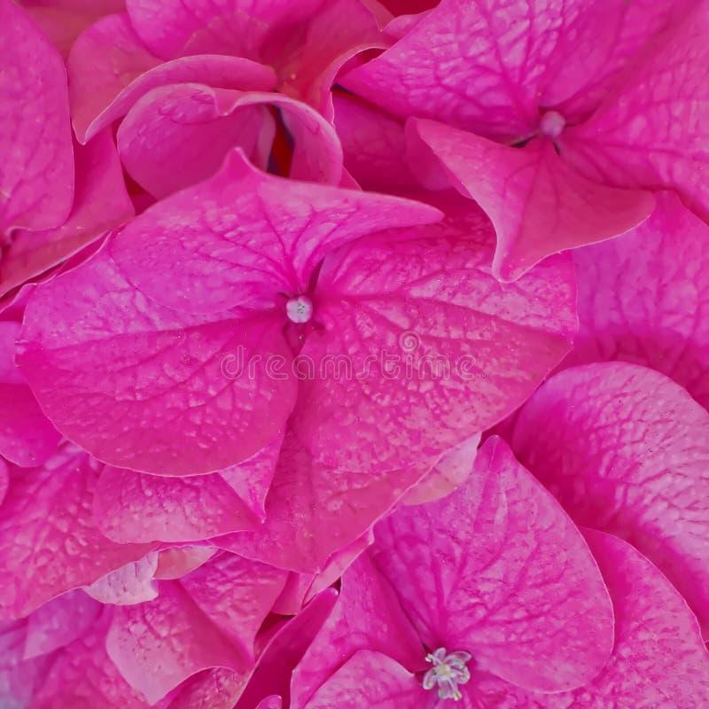Dunkler rosa Hortensia blüht natürlichen Hintergrund lizenzfreie stockbilder