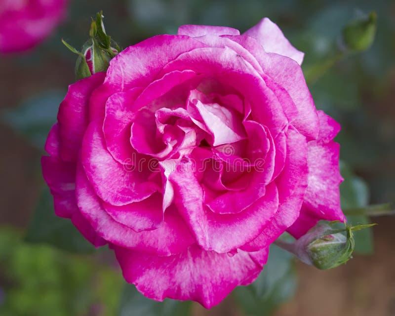 Dunkler Rosarosenabschluß oben lizenzfreie stockbilder