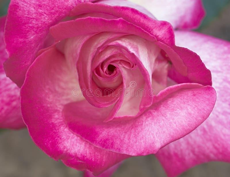 Dunkler Rosarosenabschluß oben lizenzfreies stockbild