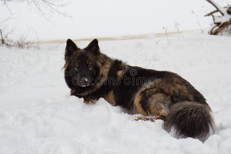 Dunkler Schäferhund Mix Laying im weißen Schnee im Winter stockfotos