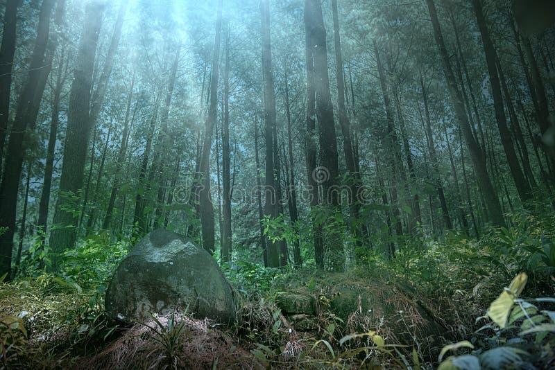 Dunkler Wald mit Nebel und hohen Bäumen lizenzfreie stockfotografie