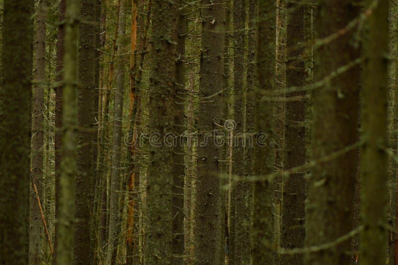Dunkler wilder dichter Koniferenwald von den Stämmen und von den Niederlassungen von Tannenbäumen stockbild