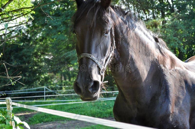 Dunkles Pferd, das in der Weide, die Kamera betrachtend weiden lässt stockfotografie